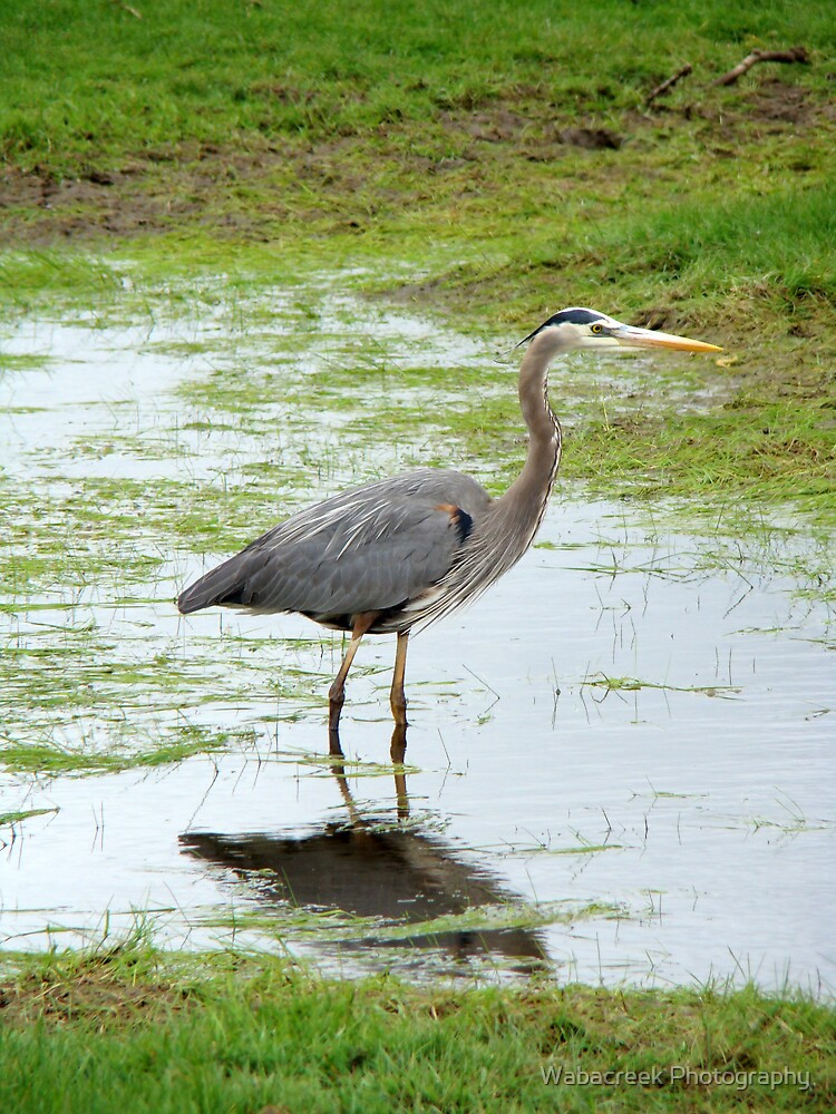 Heron by Jocelyne Phillips