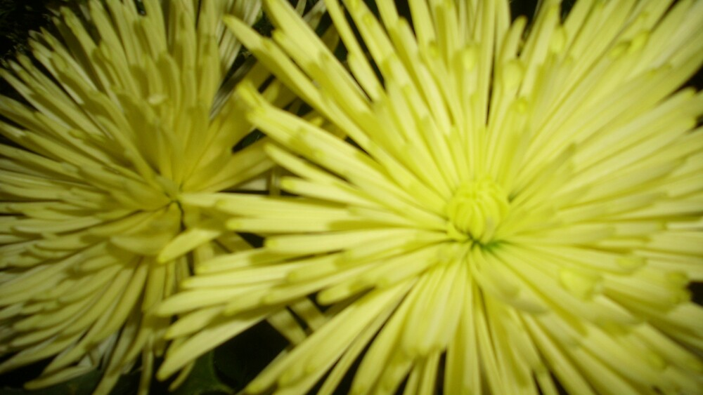 yellow mums by clou