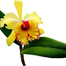 Pink Tipped Yellow Orchid by Susan Savad