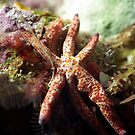 Macro Starfish by Kristin Hamm
