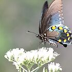 Pipevine Swallowtail Butterfly by Olivia Plasencia