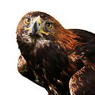 Golden eagle looking at camera  by ljm000