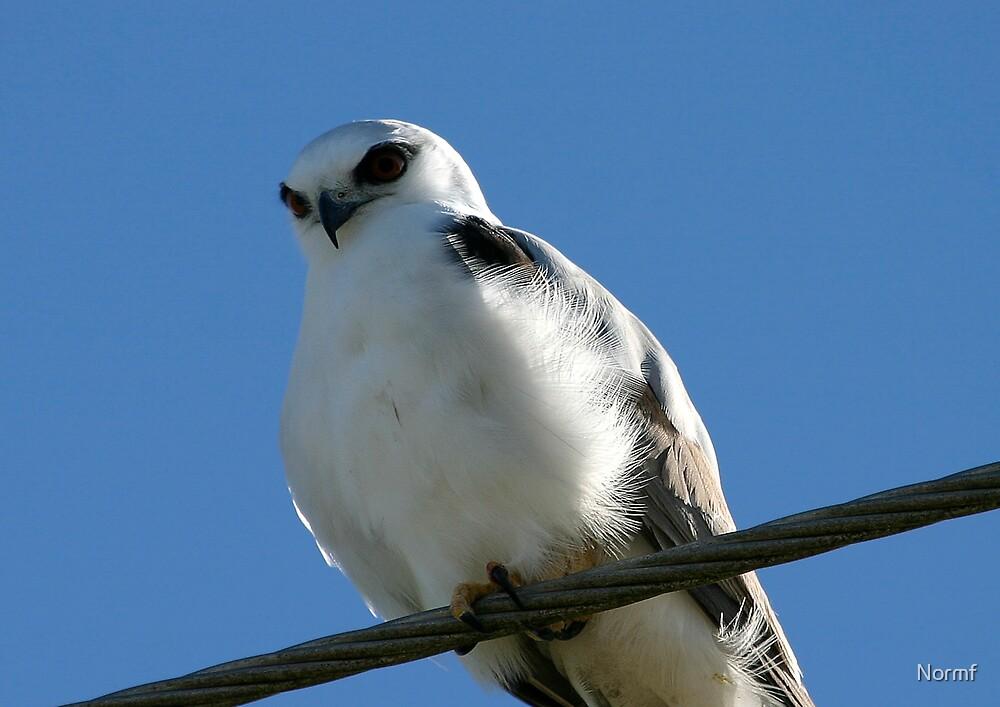 Black Shouldered Kite by Normf