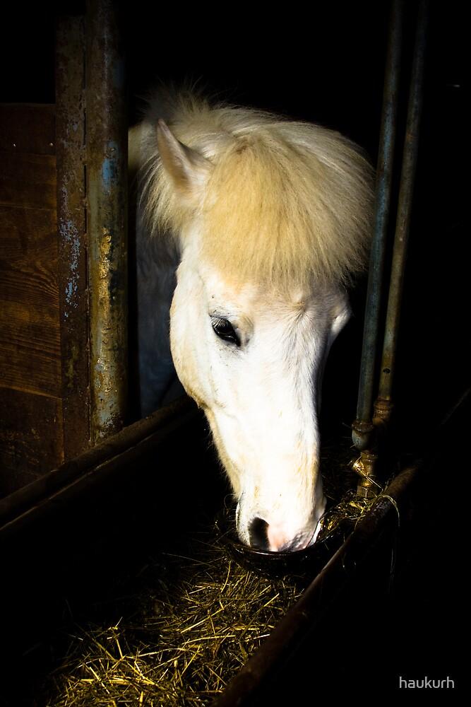 An Iceland Horse by haukurh