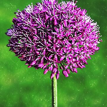 Allium bloom  by ljm000