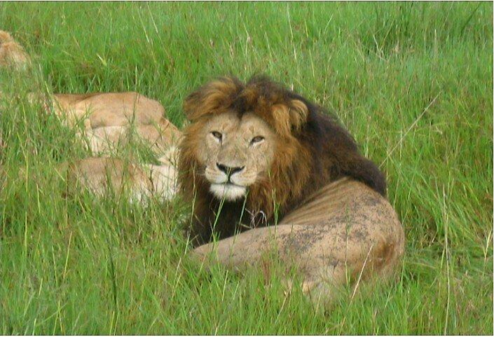 Lion by olioli8