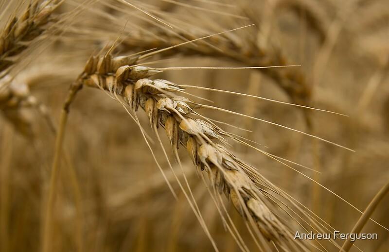 """Wheat stalk."" by Andrew Ferguson   Redbubble"