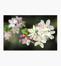Delicate Flowering Crab Apple Photographic Print