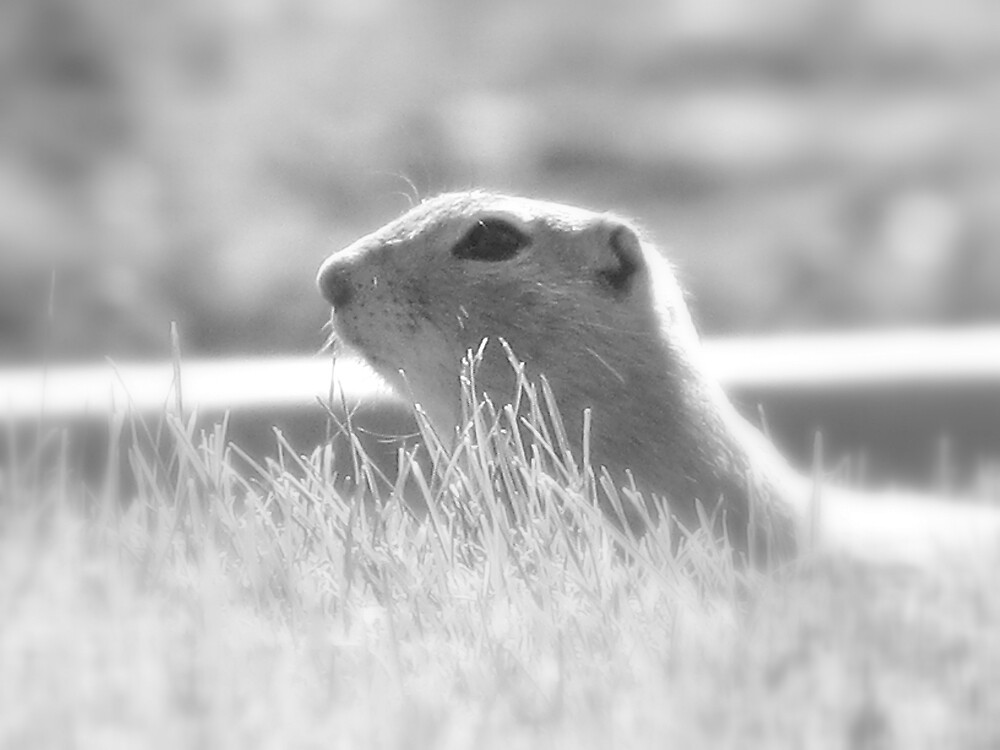 Ground Squirrel by Robert Jenner