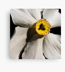 Poet's Daffodil Canvas Print