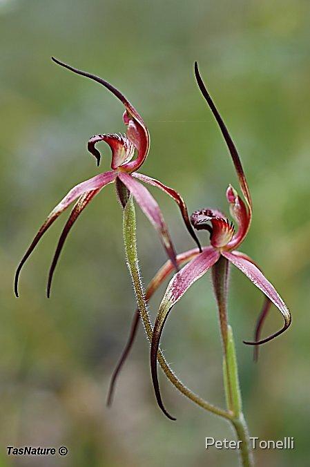 Caladenia caudata - Black-tongue Spider orchid by Peter  Tonelli