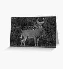 Little Four-Point Buck Greeting Card