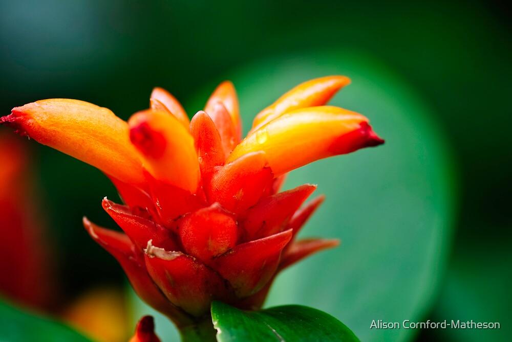 Orange Bloom by Alison Cornford-Matheson