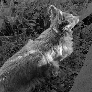 Elegant Pomeranian by PhoenixMunro
