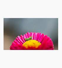 Small grasshopper sitting on a flower Photographic Print