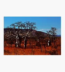 Boab trees at Derby Photographic Print