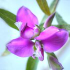 Sweet Pea Bush by Michael Matthews