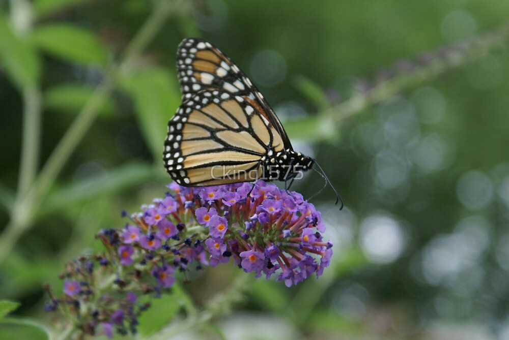 Monarch Butterfly by Cking1575