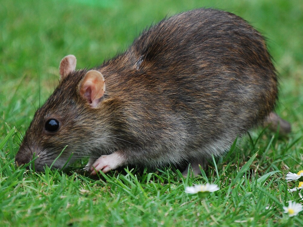 rat by ampwizbit