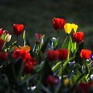 Tulips by yolanda