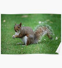 squirrell Poster