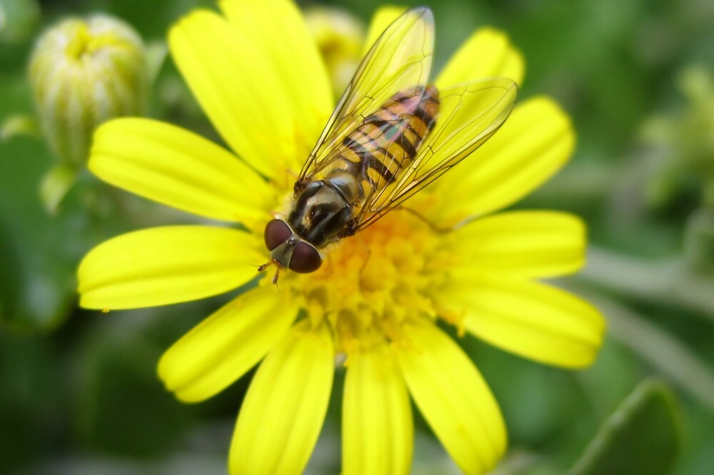 wasp on yellow flower by cromerpaul