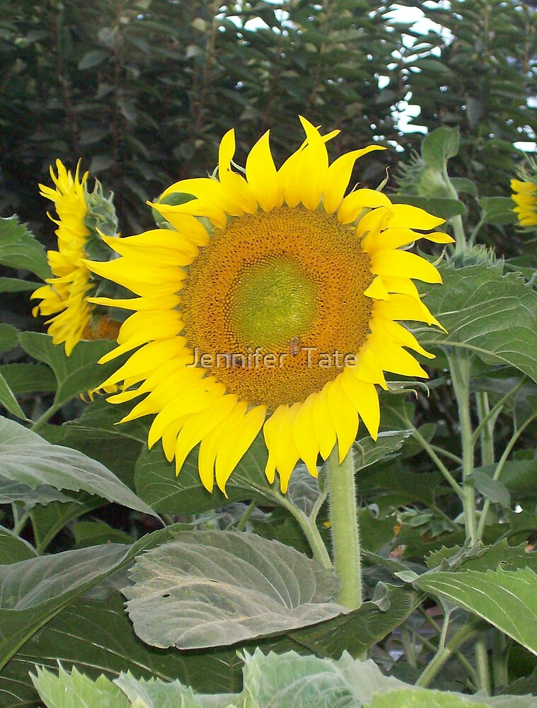 Sunflower and two Bees by Jennifer  Tate