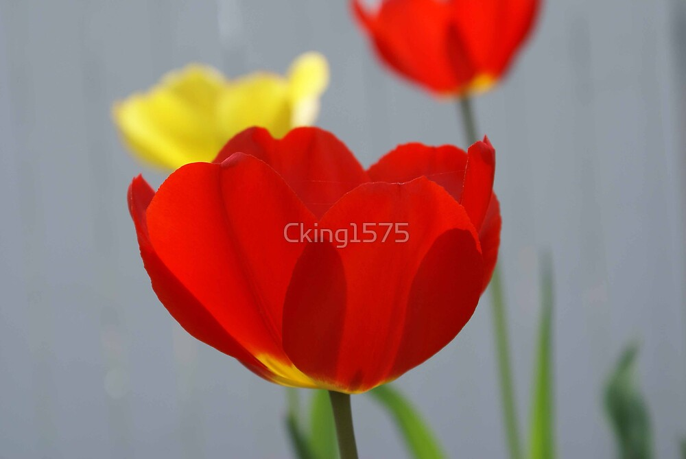 Tulips by Cking1575