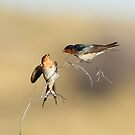 Welcome Swallows by Heather Thorning