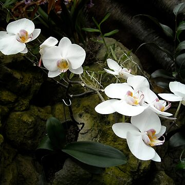 White Orchids by gerelgruber