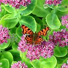 The beautiful comma butterfly by missmoneypenny