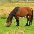 Horse eating in the field von claudiu