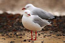 Seagulls by maureenclark