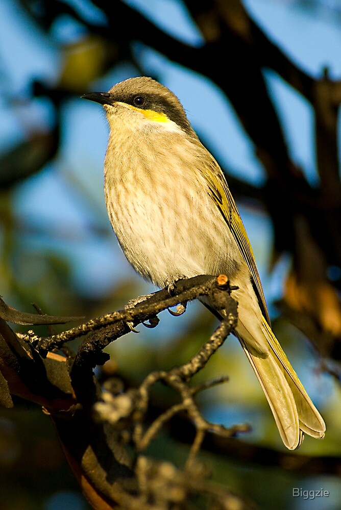 Singing Honeyeater by Biggzie