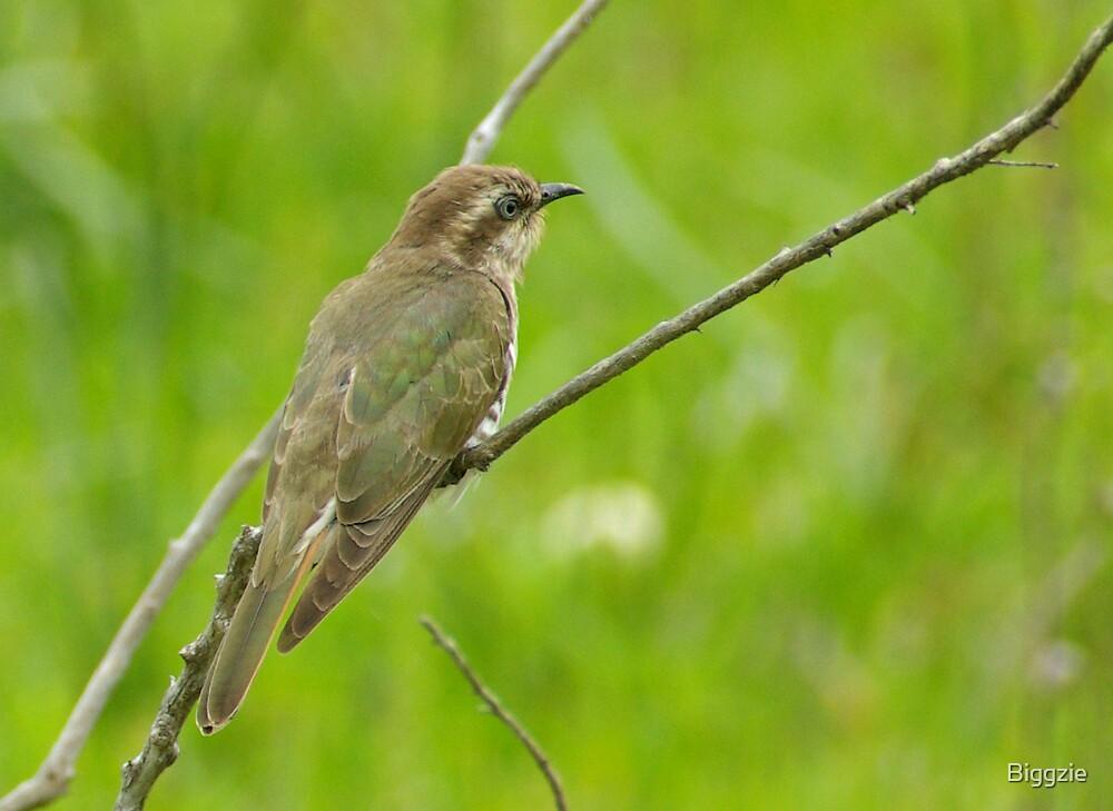 Horsfield's Bronze-Cuckoo by Biggzie