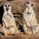 MORE MEERKATS by Tracy King