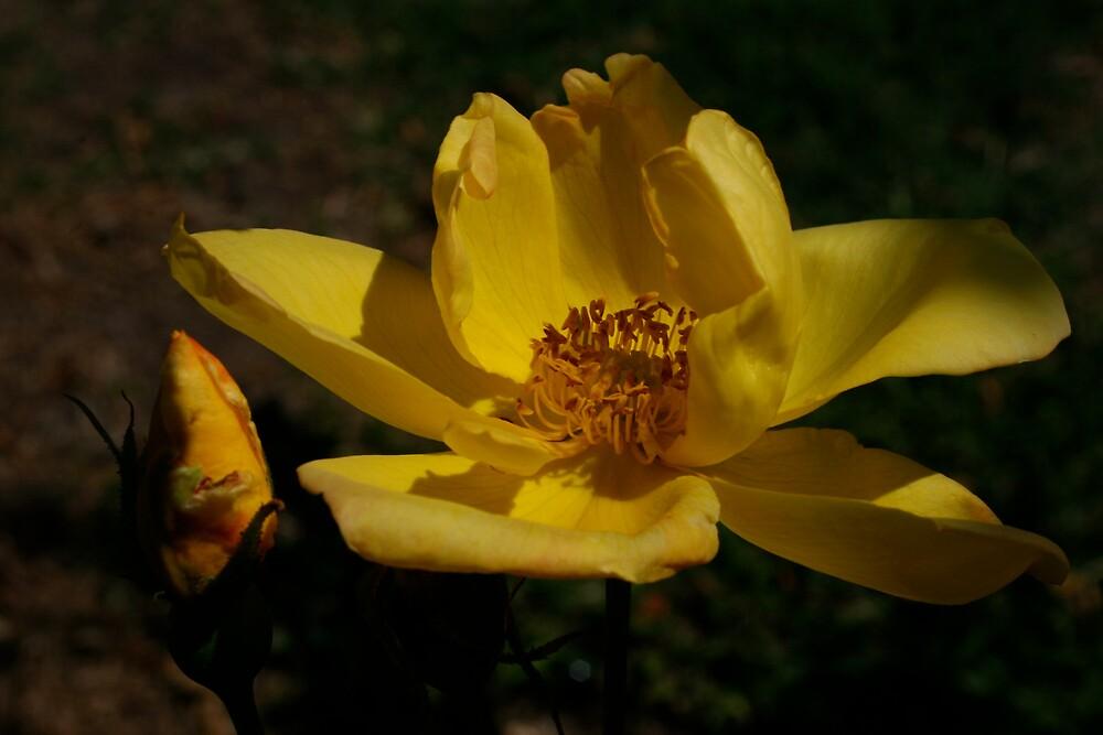 Mellow Yellow by CherilynJoy