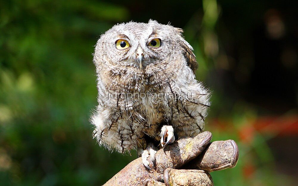 """Baby Screech-owl (That cute look)"" by jdmphotography ..."