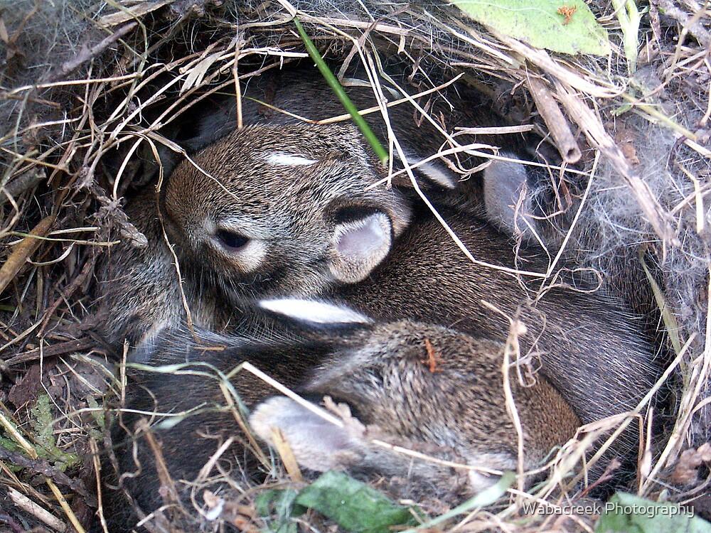 Baby Bunnies in Nest by Jocelyne Phillips