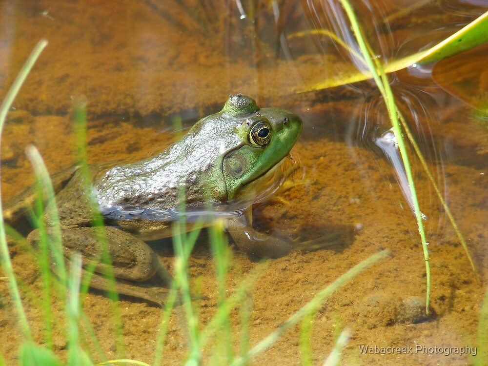 Frog by Jocelyne Phillips