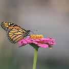 Monarch 2017-11 by Thomas Young