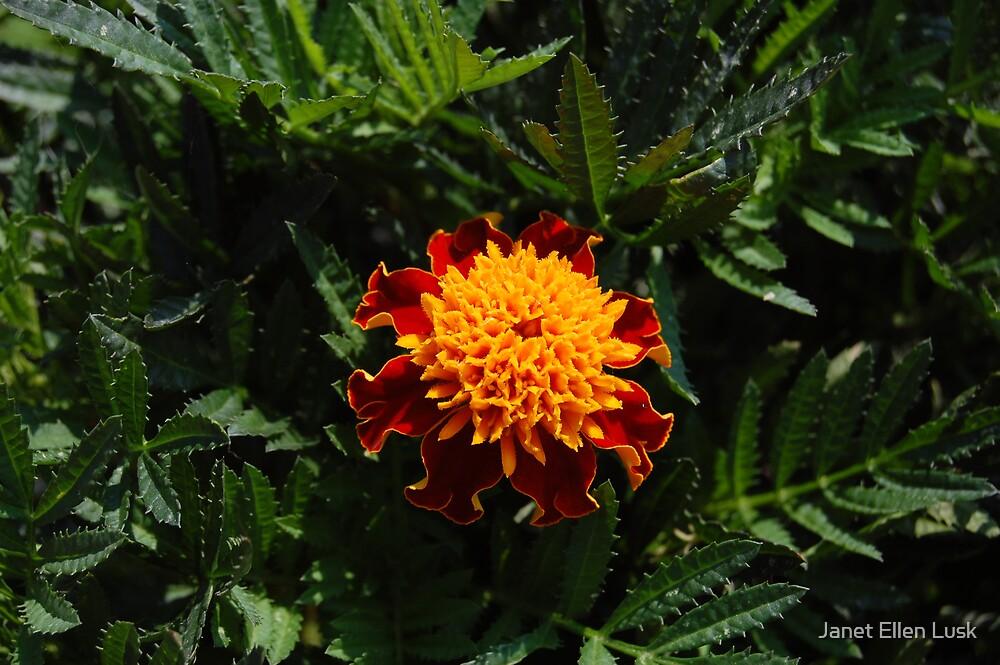 Marigold  by Janet Ellen Lusk