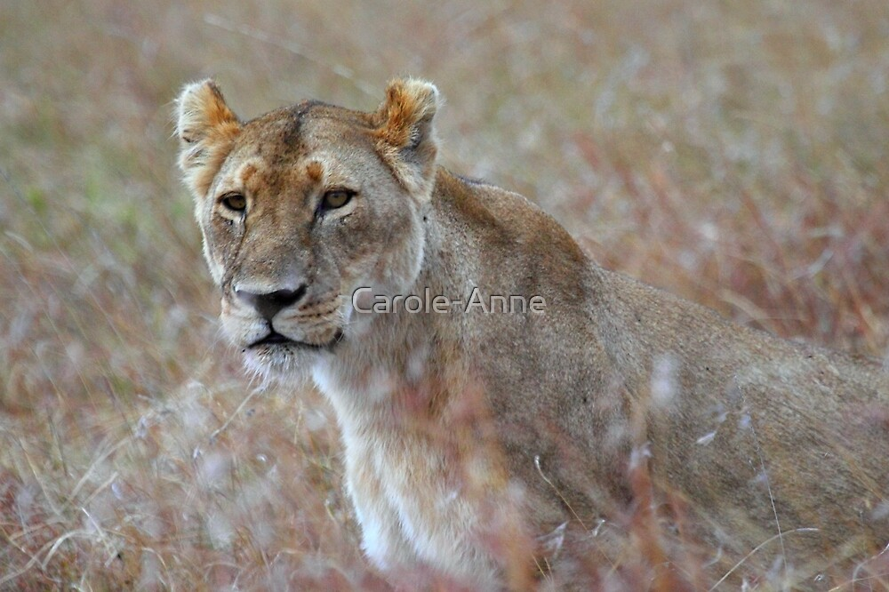 Camouflage: Female Lion Portrait, Maasai Mara, Kenya  by Carole-Anne