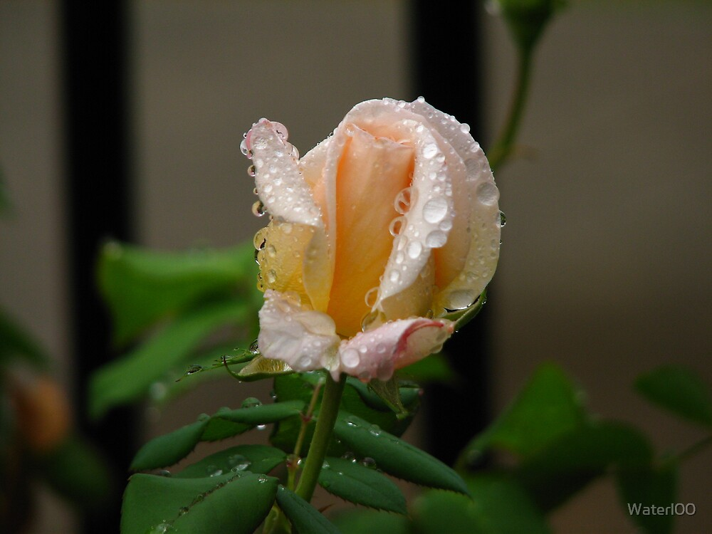 Rain Drops On A Rose by Waterl00
