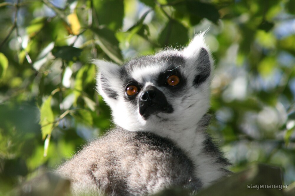 Ring Tailed Lemur by stagemanager