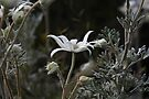 Flannel Flower by Normf