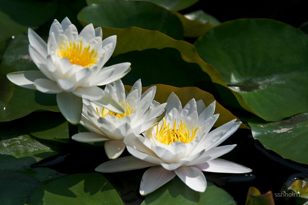 White Water Lilly by sshhoirtt
