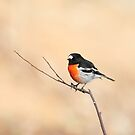 Scarlet Robin by Heather Thorning