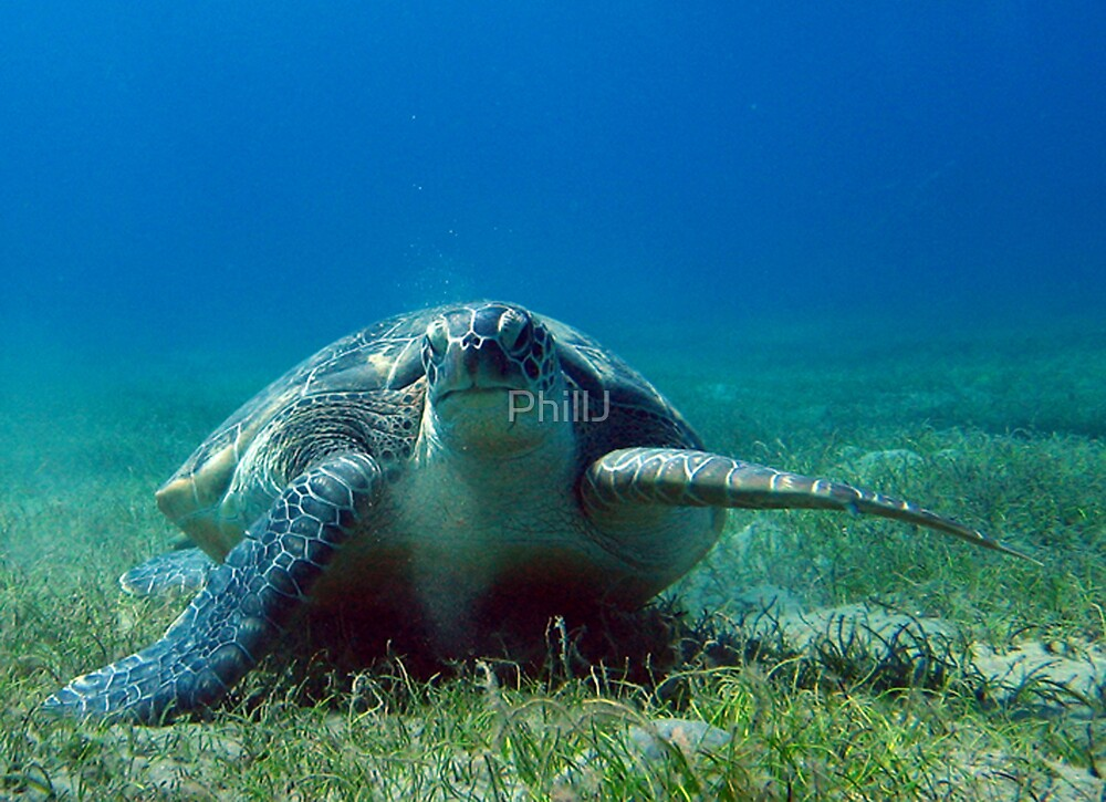 Red Sea Turtle by PhillJ