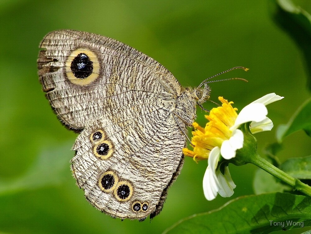 Common Five-ring butterfly by Tony Wong